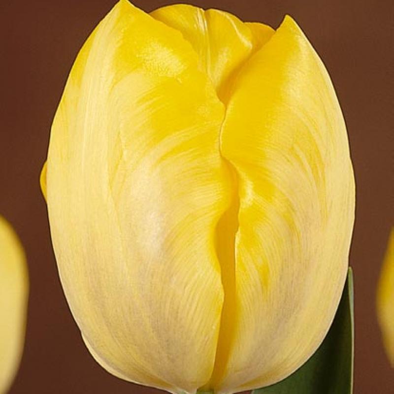 Тюльпаны Голден Пис