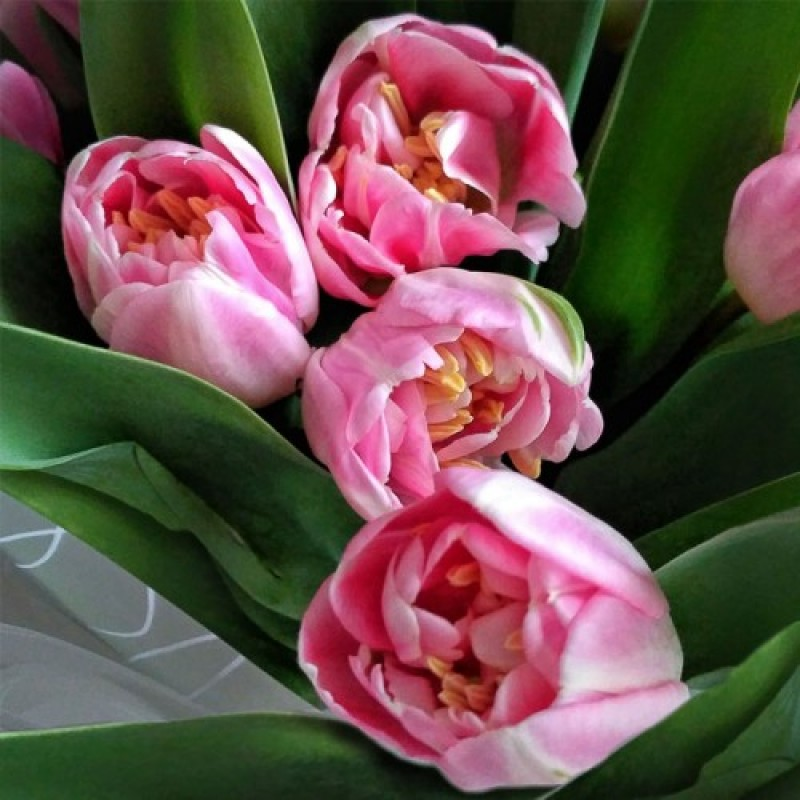 Тюльпаны Эндлесс Лав