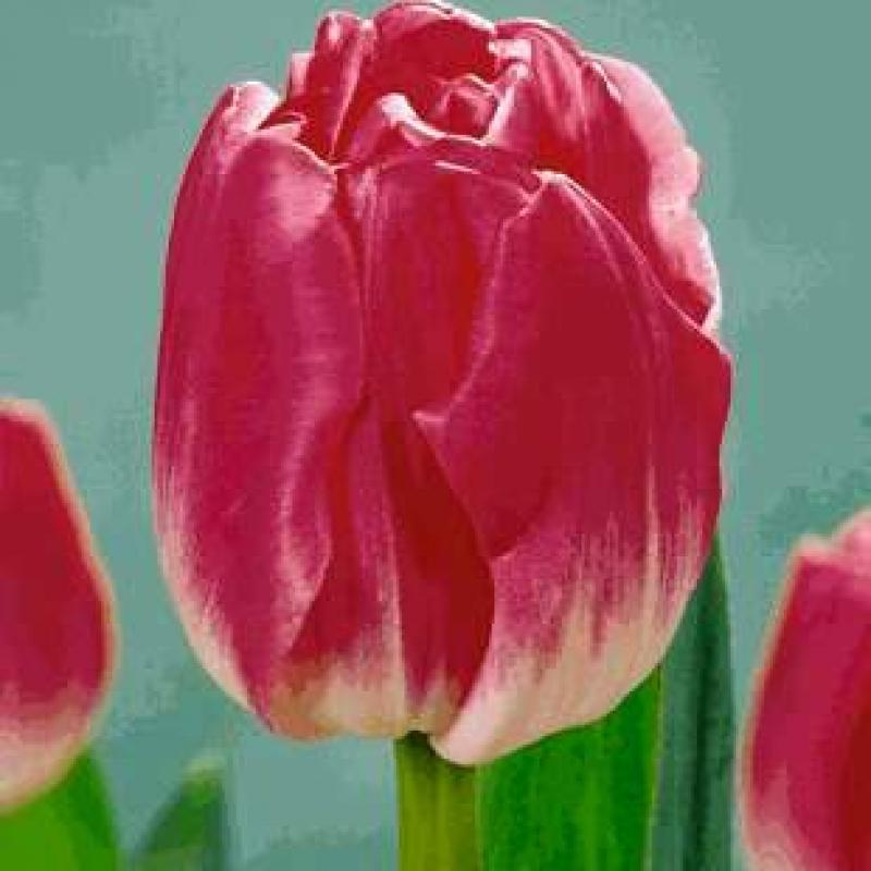 Тюльпаны Глобе