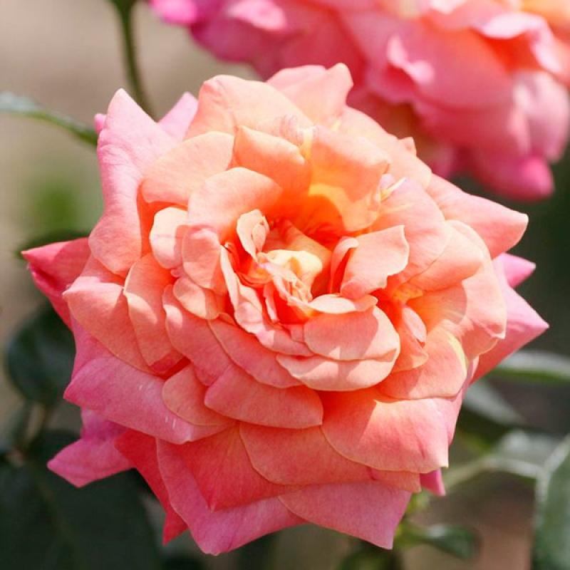 Розы Чикаго Пис