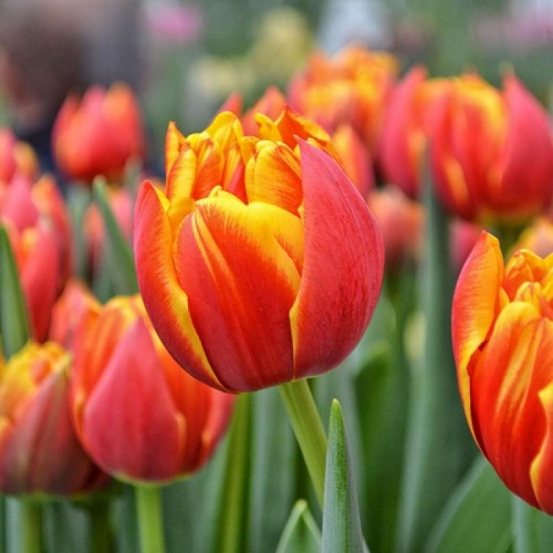 Тюльпаны Кроссфаер