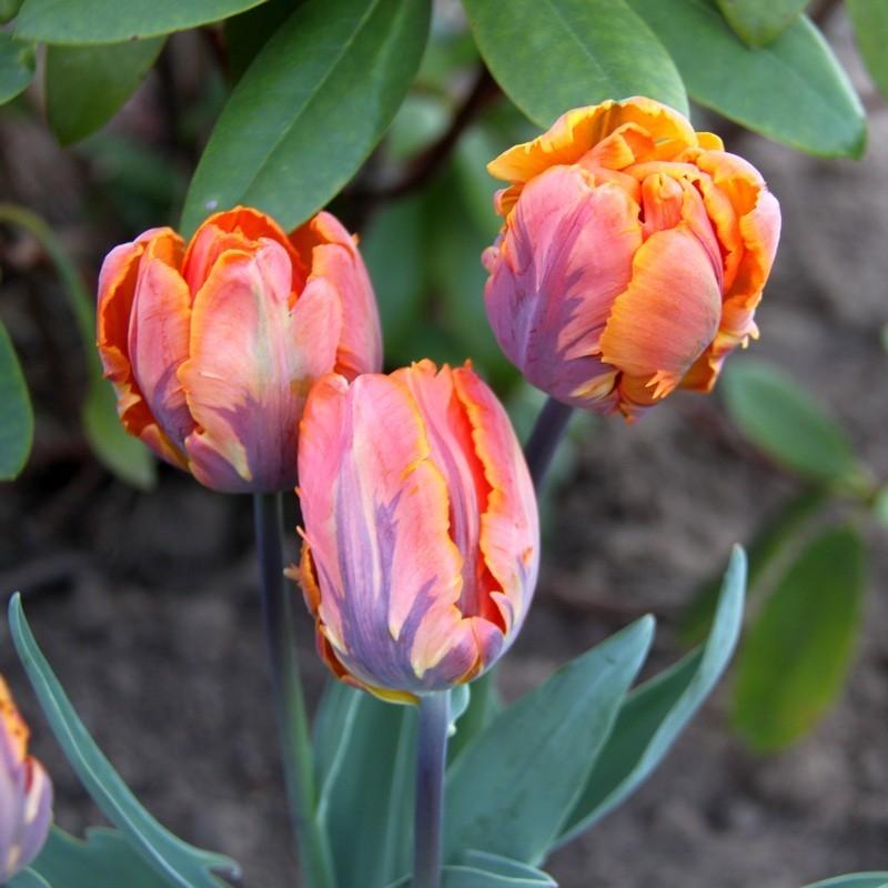 Тюльпаны Ирен Пэррот