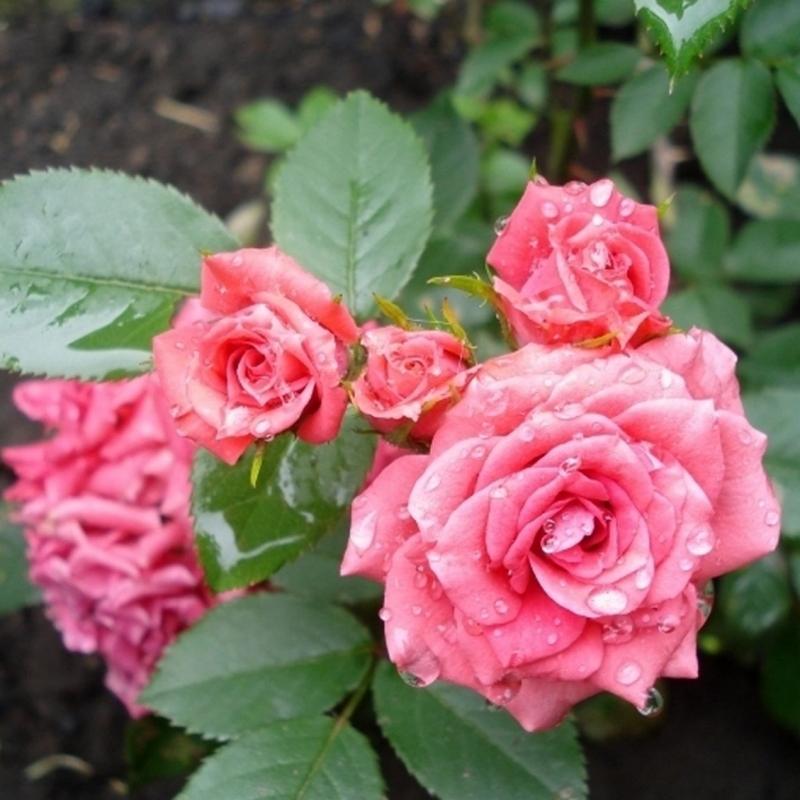 Розы Куин Парад