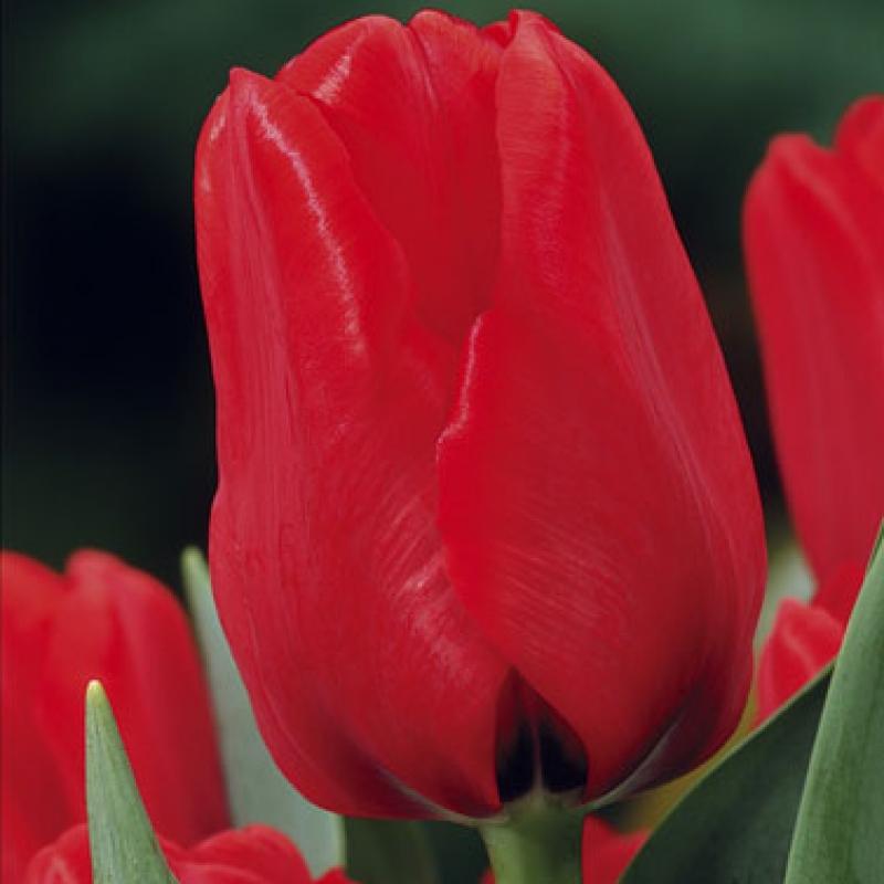 Тюльпаны Роял Кардинал