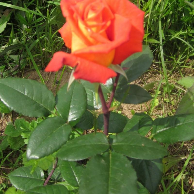Розы Моника