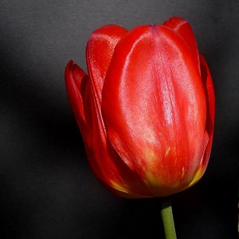 Тюльпаны Ред Презент Вариант