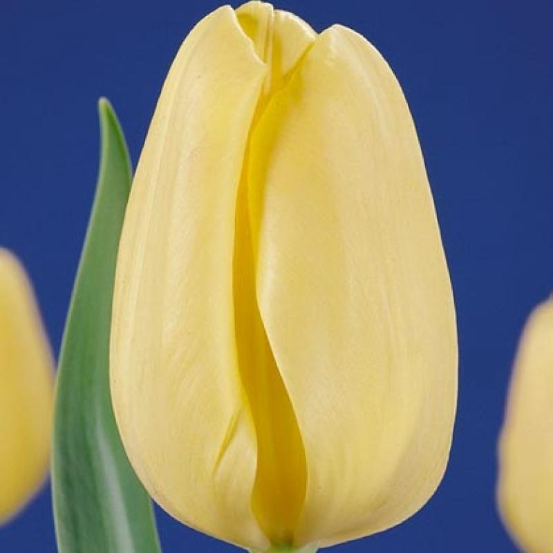 Тюльпаны Нова Зембла