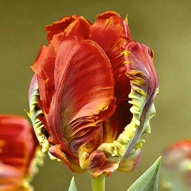 Тюльпаны Холланд Хэппенинг