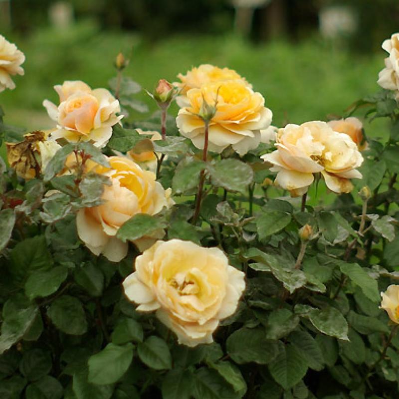 Розы Брестэйкинг