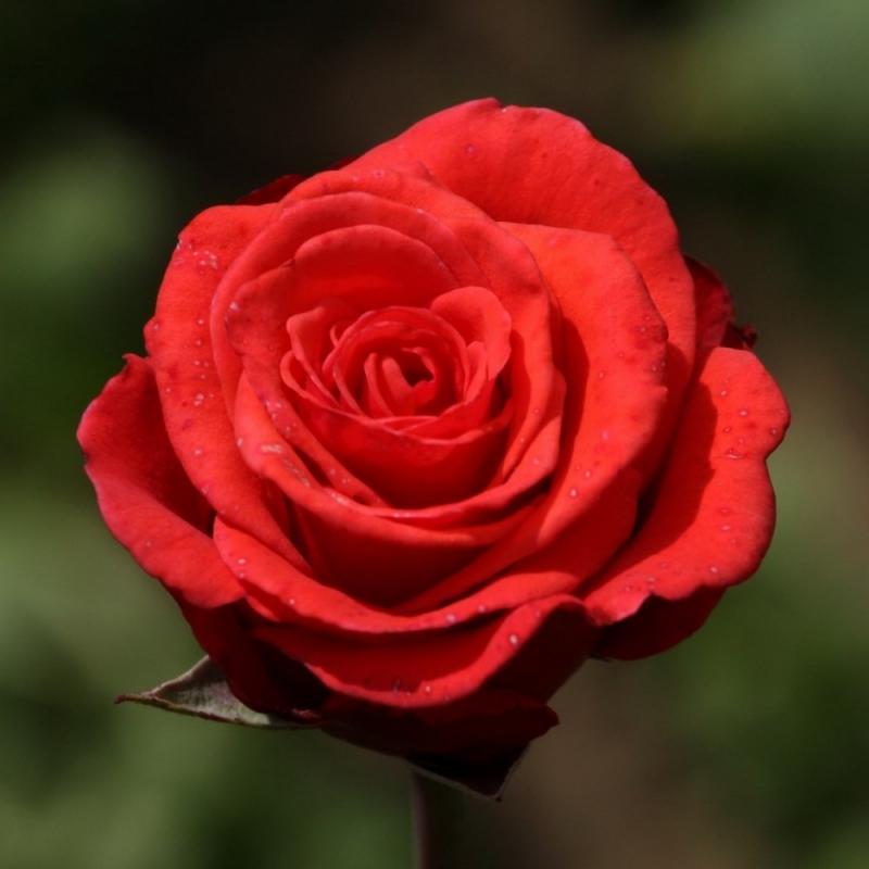 Розы Бермуда
