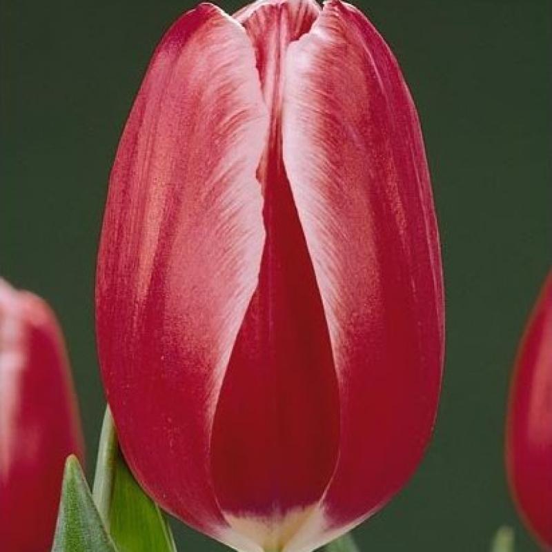 Тюльпаны Кунг Фу