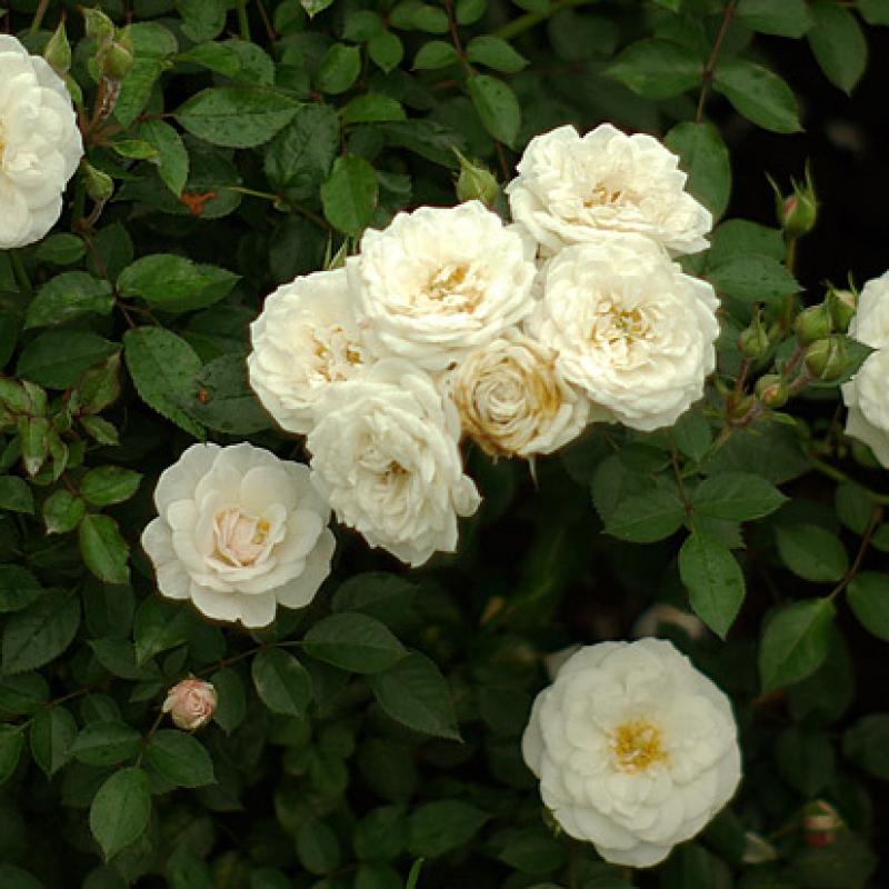 Розы Сноу