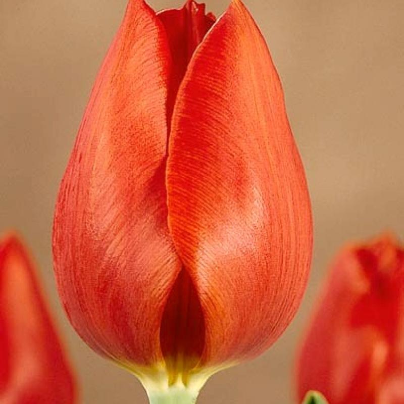 Тюльпаны Патилмо