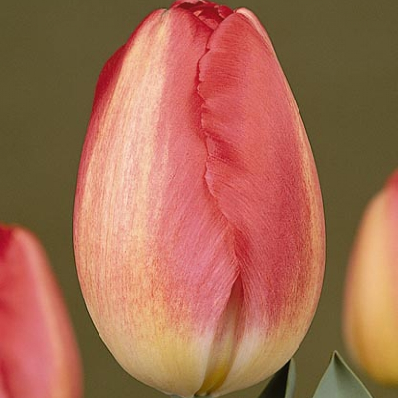 Тюльпаны Ивонне ван Геннип