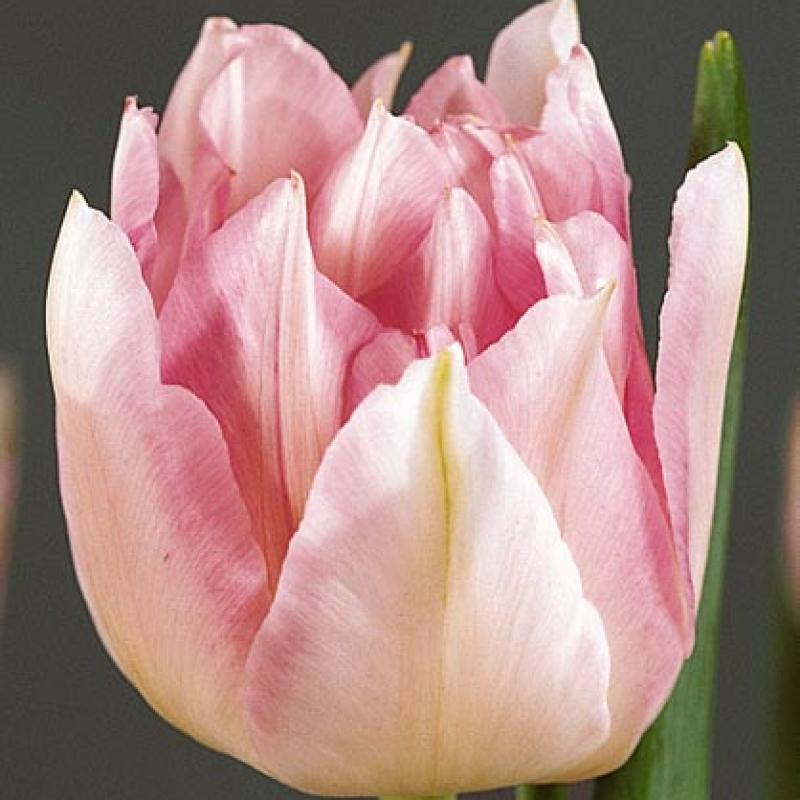 Тюльпаны Нилс Финсен