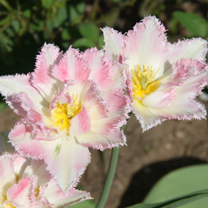 Тюльпаны Криспион Свит