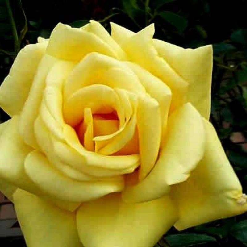 Розы Селфриджес