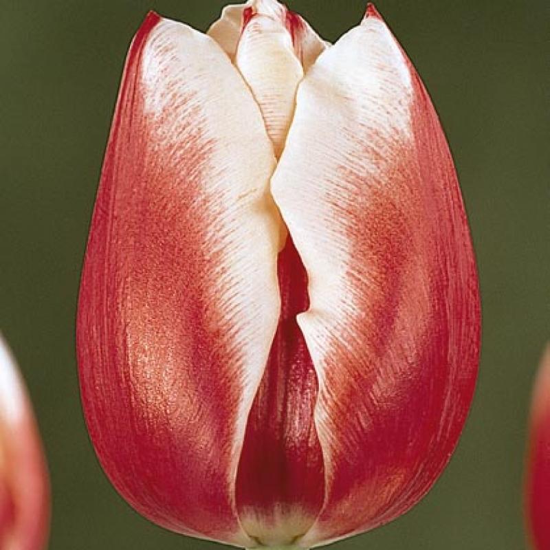 Тюльпаны Гуд Лакинг