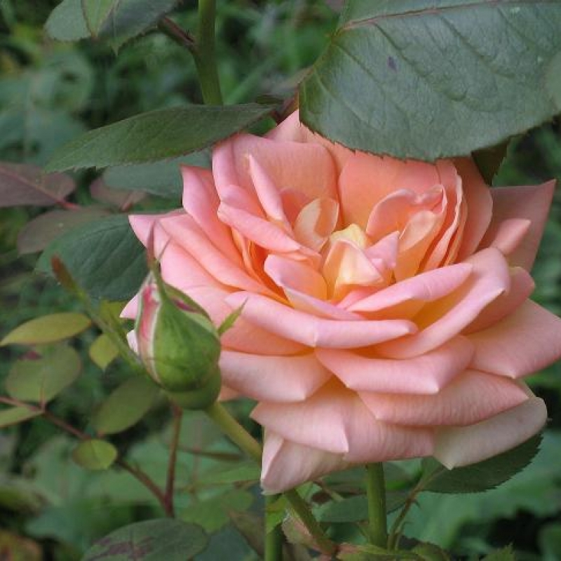 Энциклопедия роз роза валенсия