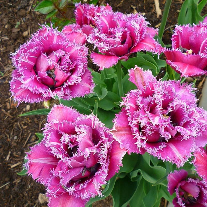 Тюльпаны Маскотте