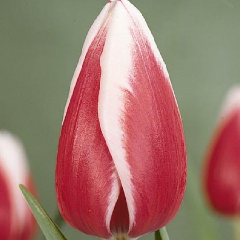 Тюльпаны Гуус Папендренхт