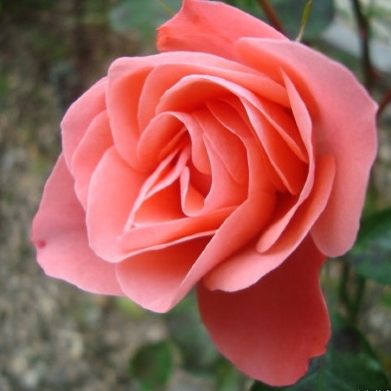 Розы Фреденсборг