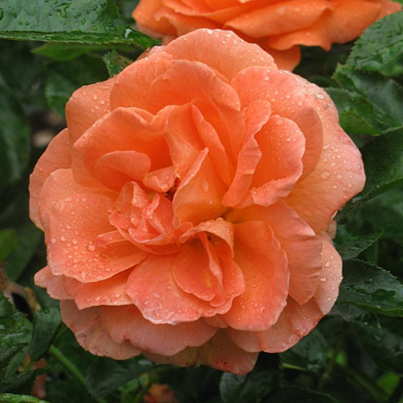 Розы Бетти Хакнесс
