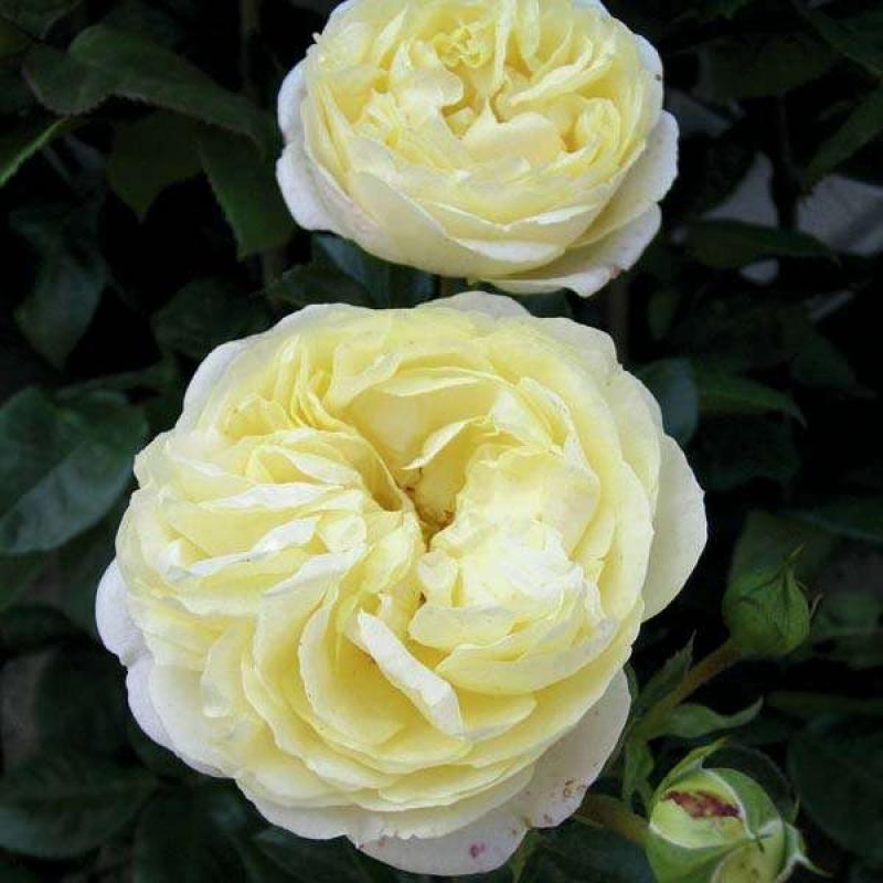 Розы Кент