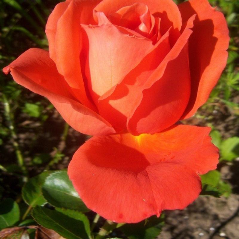 Розы Априкола