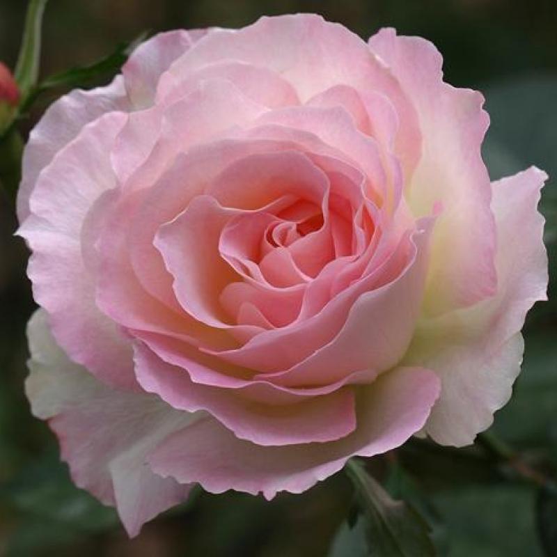 Розы Чарльз Азнавур