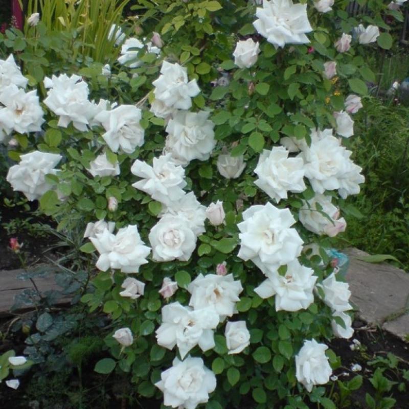 Розы Вирго Кл.