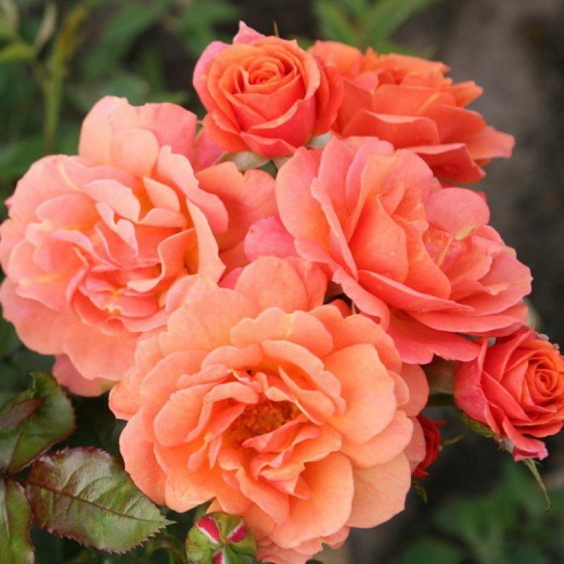 Roses Lambada