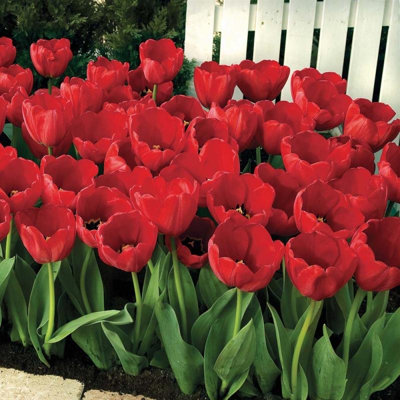 Тюльпаны Ред Импрешн