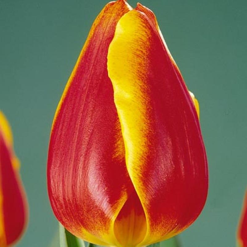 Тюльпаны Мастермайнд