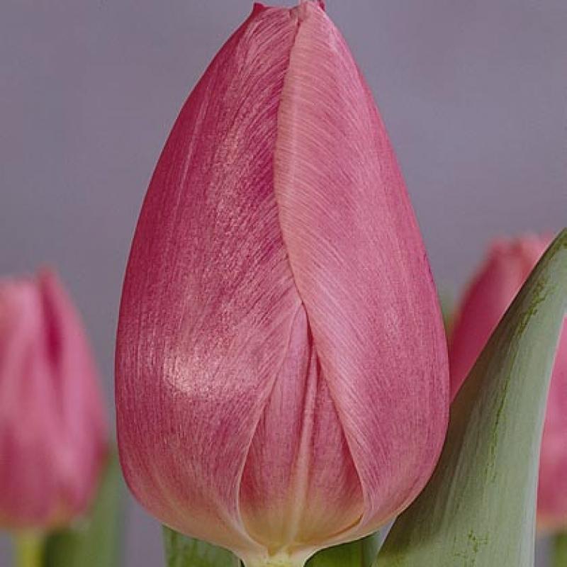 Тюльпаны Кристмас Дрим
