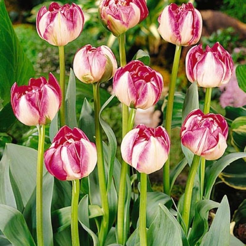 Тюльпаны Топстар