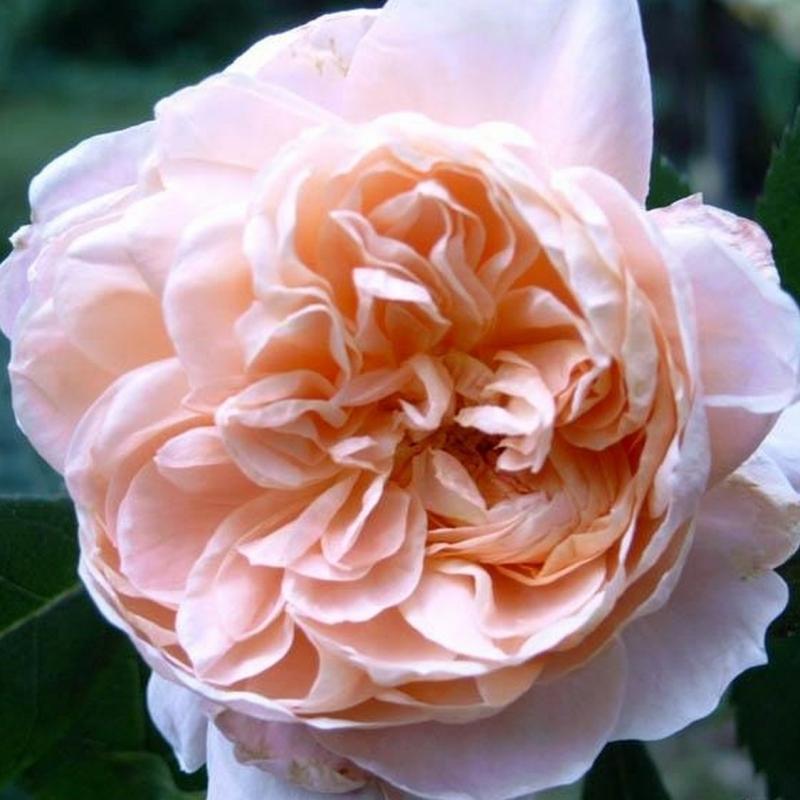 Розы Колетте