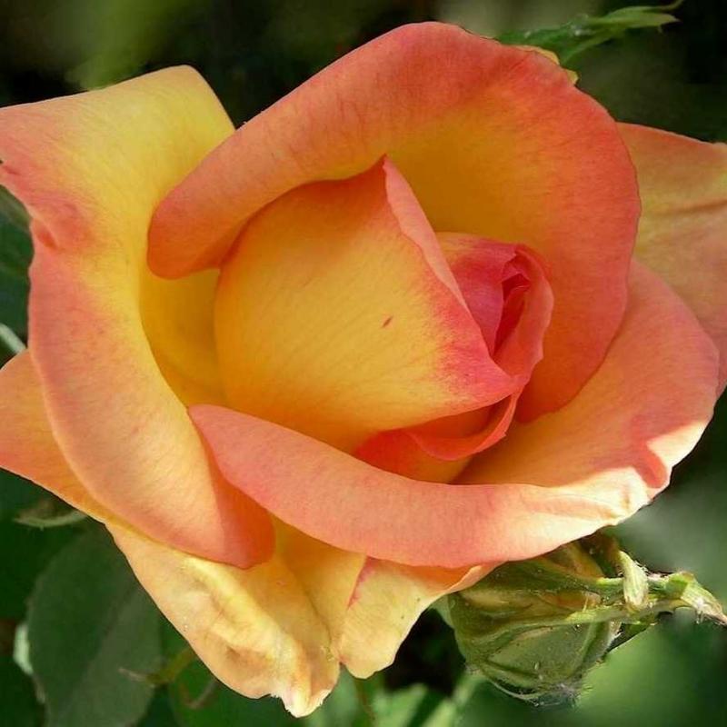 Розы Парур д'Ор