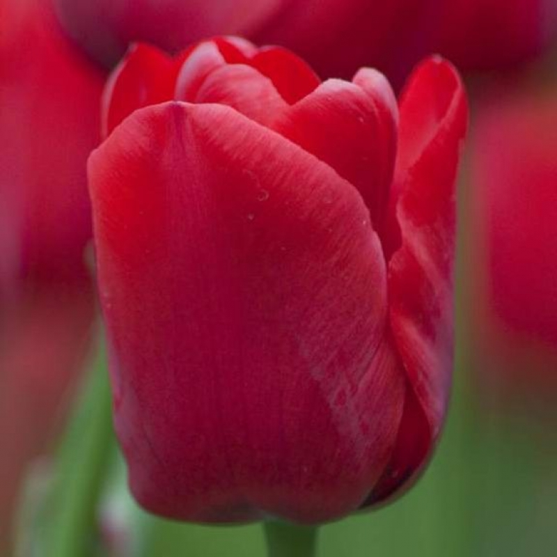 Тюльпаны Иль де Франс