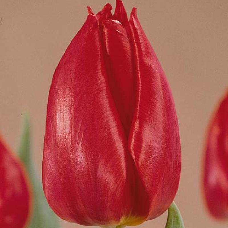 Тюльпаны Чейроза