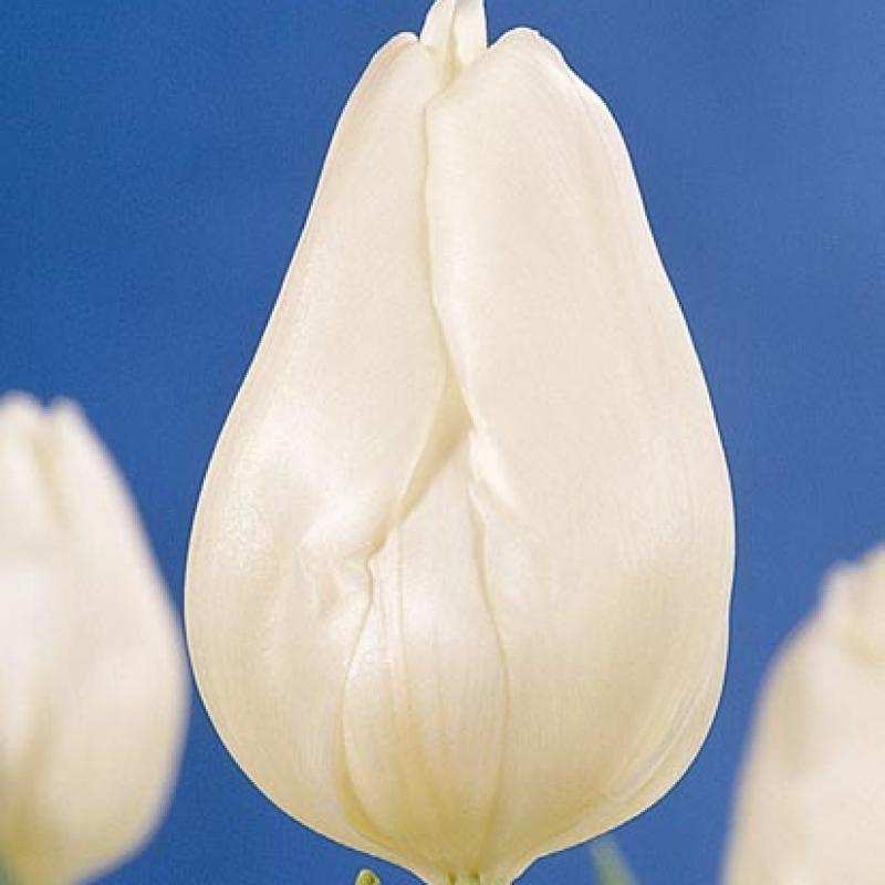 Тюльпаны Уайт Си