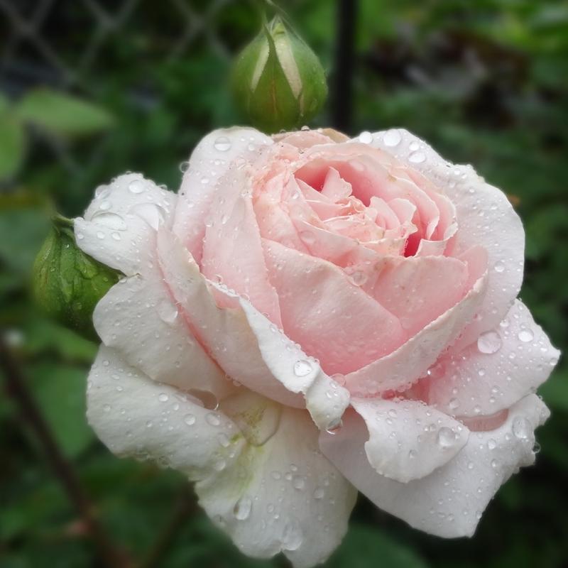 Розы Фредерик Мистраль