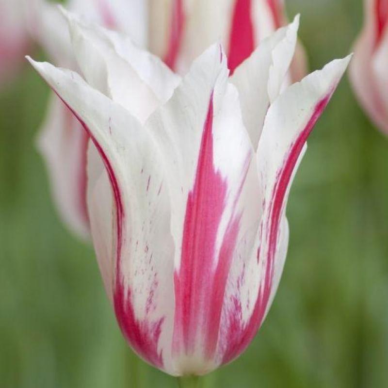 Тюльпаны Мэрилин