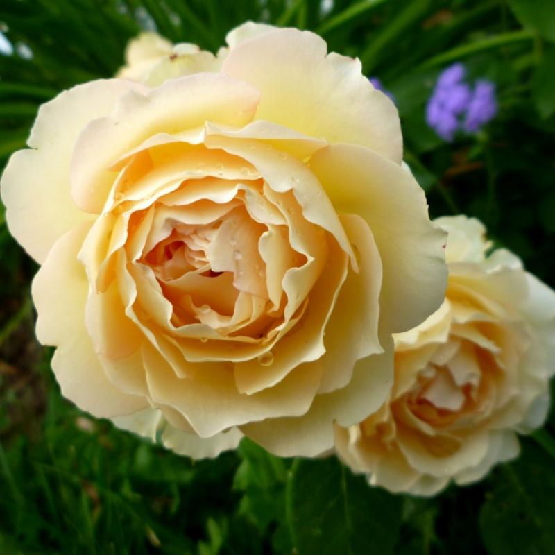 Розы Джалита
