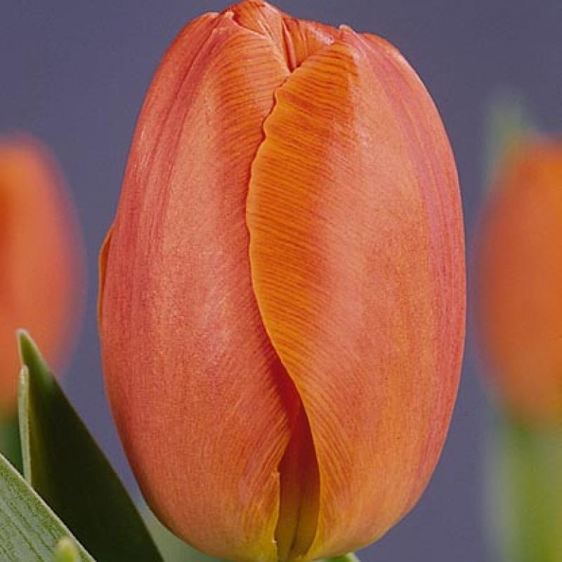Тюльпаны Генерал де Вет