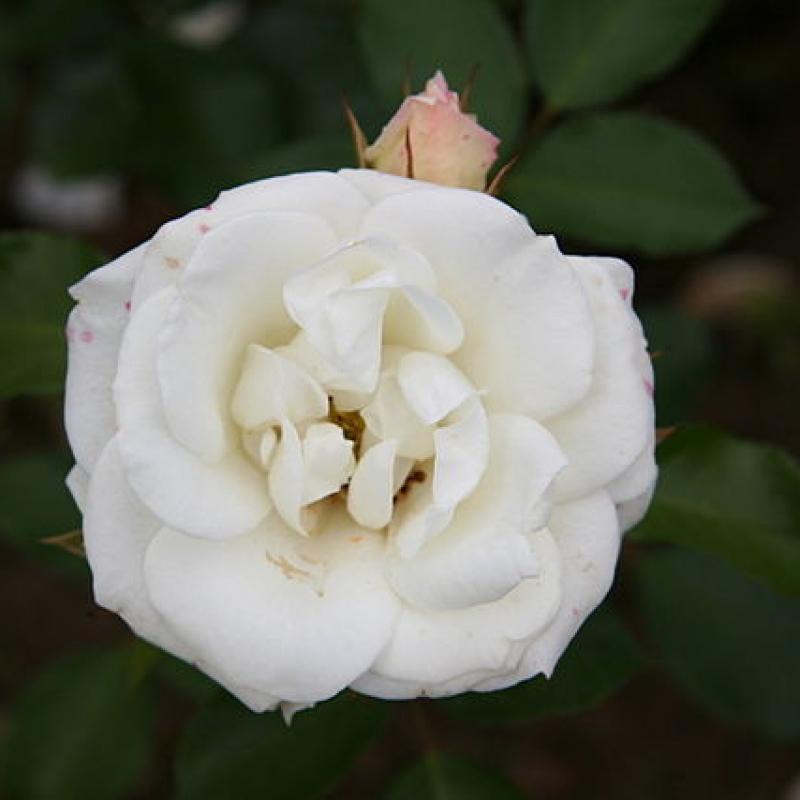 Розы Грастен