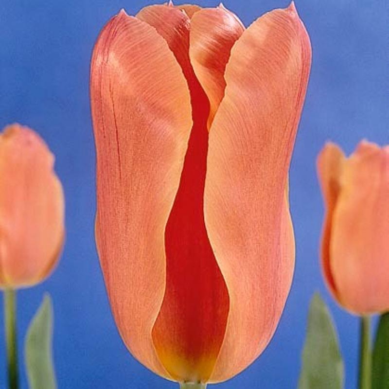 Тюльпаны Салмон Джевел