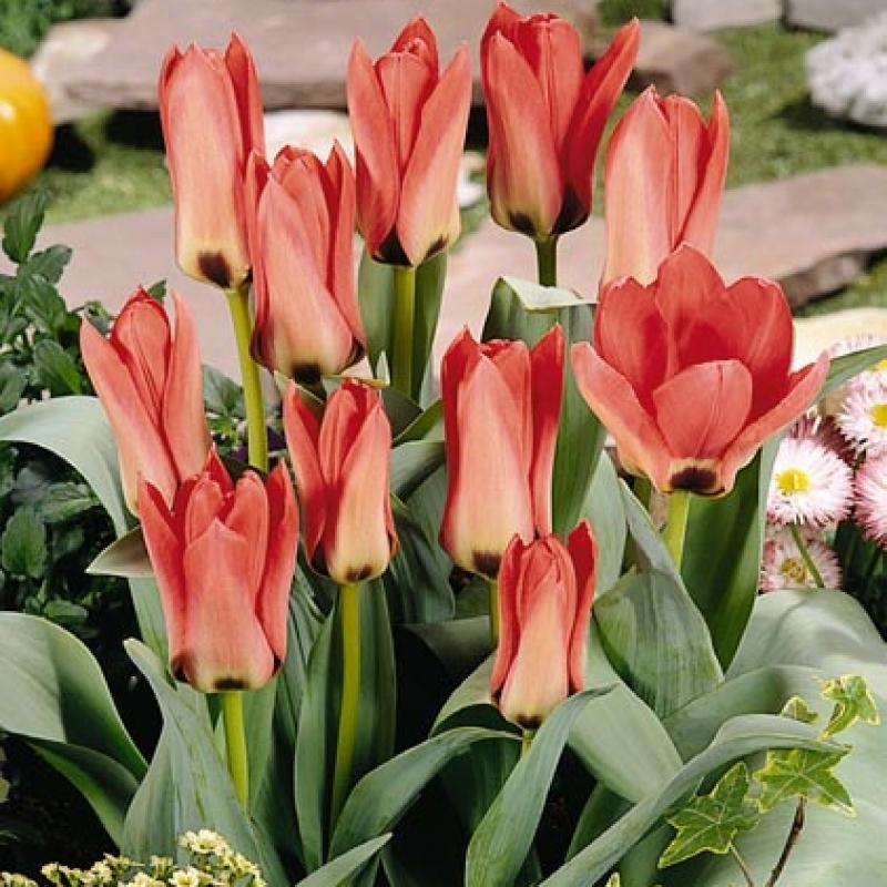 Тюльпаны Сильвия ван Леннеп