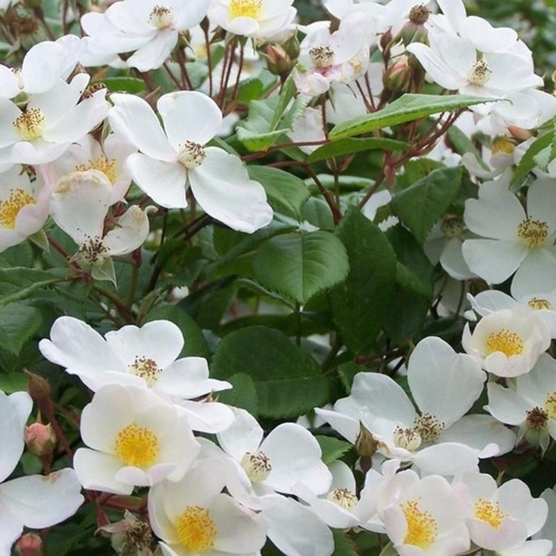 Розы Плеин де Грейс