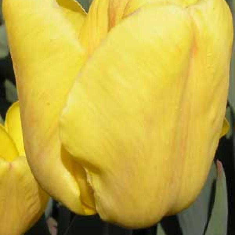 Тюльпаны Дакар